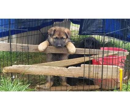 Beautiful German Shepherd Puppies is a Female German Shepherd Puppy For Sale in Branson MO