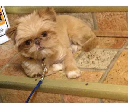 green eyed shih tzu puppies is a Green Female Shih-Tzu Puppy For Sale in Burlington KY