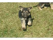 German Shepherd pups and trained dogs