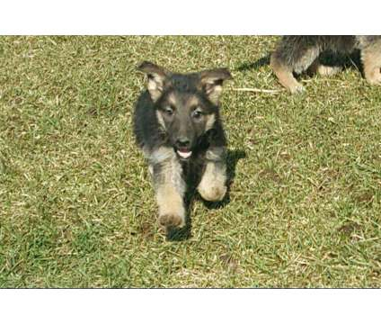 German Shepherd pups and trained dogs is a German Shepherd Puppy For Sale in Clermont IA
