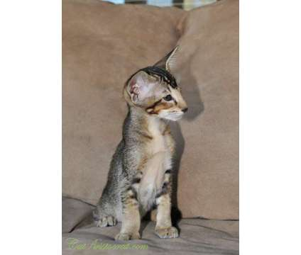 Oriental Short-hair Black ticking kitten is a Black Female Oriental Kitten For Sale in Ashland OH