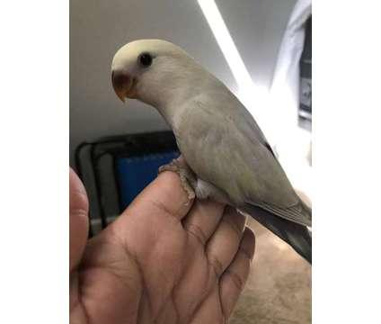 Lovebird Baby - Sweet is a Male Lovebird Baby For Sale in Jacksonville FL
