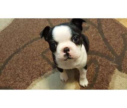 Boston Terrier Girl Puppy is a Female Boston Terrier Puppy For Sale in Seattle WA