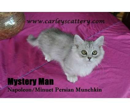Napoleon Minuet kitten Persian Munchkin is a Male Munchkin Kitten For Sale in Nashville TN