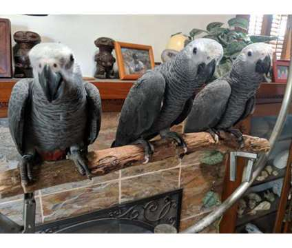 Baby African Grey Parrot for sale is a Grey Female African Grey Parrot Baby For Sale in San Diego CA