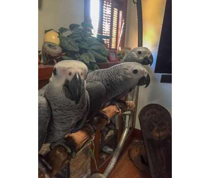 Baby African Grey Parrot for sale is a Grey Male African Grey Parrot Baby For Sale in San Diego CA