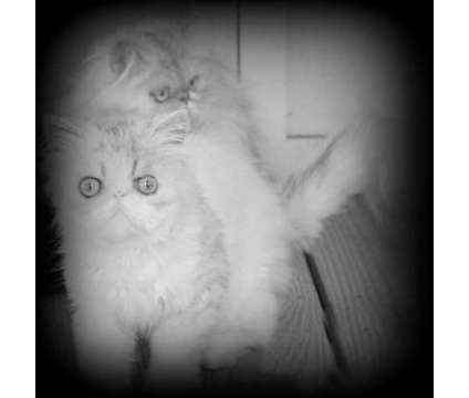 Persian cats young adults pair sale or trade is a Female Persian Young For Sale in Jacksonville FL