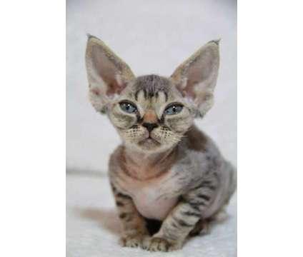 Devon Rex kittens is a Female Devon Rex Kitten For Sale in Montreal QC