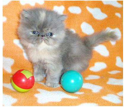 Adorable Extreme faced show quality persian kittens is a Persian Kitten For Sale in Phoenix AZ