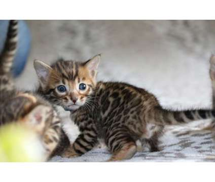 TICA Registered Bengal Kittens - the BEST TEMPERAMENTS is a Female Bengal Kitten For Sale in Olympia WA
