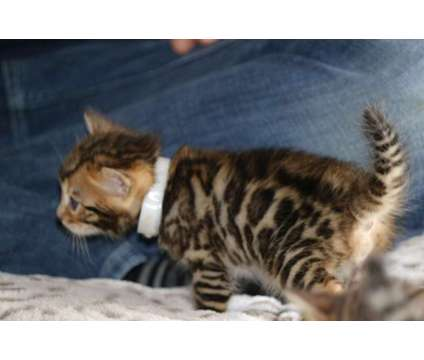 TICA Registered Bengal Kittens - the BEST TEMPERAMENTS is a Male Bengal Kitten For Sale in Olympia WA