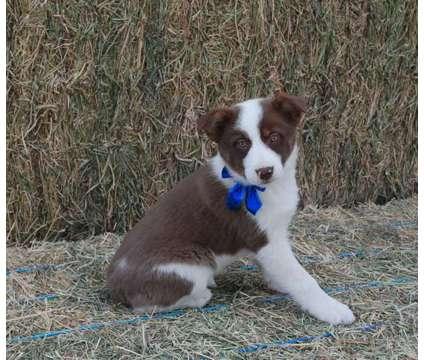 Gorgeous Australian Shepherd/Border Collie Cross Puppies is a Blue Female Australian Shepherd Puppy For Sale in Denver CO