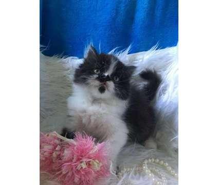 Beautiful persian babies is a Female, Male Persian Kitten in Houston TX