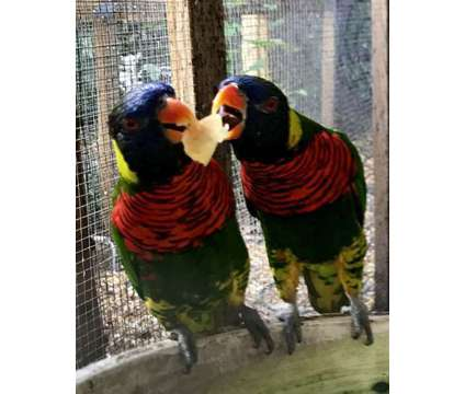 Green Naped Lory is a Green Lory For Sale in Miami FL