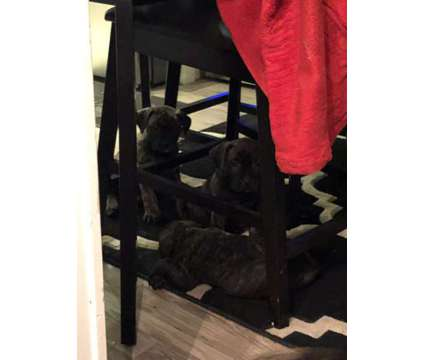 Presa Canario puppies is a Female Canary Dog Puppy For Sale in Chicago IL