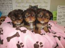 Yorkie female registered puppies