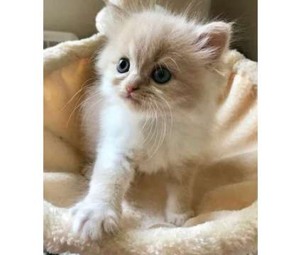 Purebred male and female persian kittens available now Gorgeous is a White Female Persian Kitten For Sale in Stewartsville NJ
