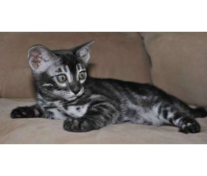 Silver Charcoal Bengal kittens is a Grey Female Bengal Kitten For Sale in Ashland OH