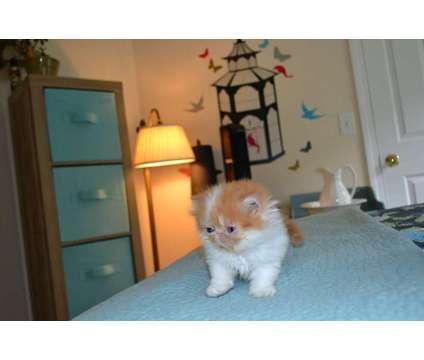Persian Kitten For Sale is a Male Persian Kitten in Windsor CT