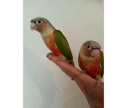 Pineapple Green Cheek Conures for Sale in Florida is a Green Female Conure For Sale in Hollywood FL