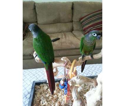 Normal Green Cheek Conures for Sale in Florida is a Green Conure For Sale in Hollywood FL