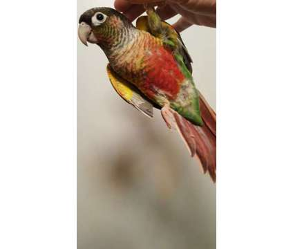 Yellow-sided Green Cheek Conures for Sale in Florida is a Green, Yellow Male Conure For Sale in Hollywood FL