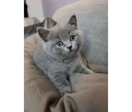 Gorgeous Scottish Fold /Straight kittens with excellent pedigree for sale .Gray is a Blue Scottish Fold Kitten For Sale in New York NY