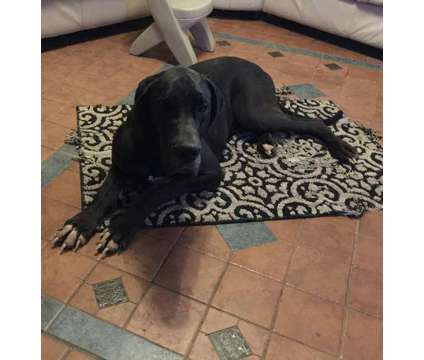 AKC Euro Great Dane Puppies Born Oct 8, 2017 is a Male Great Dane Puppy For Sale in Puyallup WA