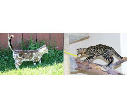Gorgeous Bengal kittens is a Male Bengal Kitten For Sale in Poway CA