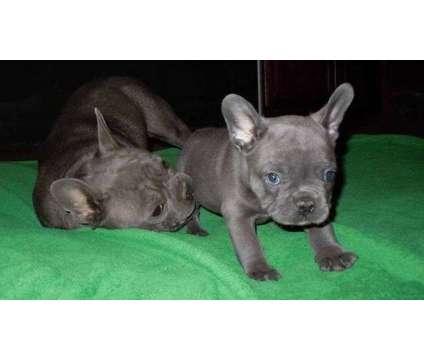 weweyu French Bulldog Puppies is a French Bulldog Puppy in Birmingham AL