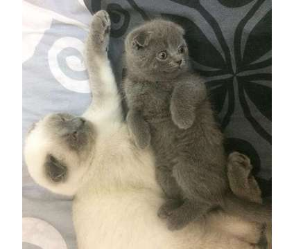 Scottish fold kittens (Grey with Blue) is a Blue, Grey Male Scottish Fold Young in Albuquerque NM
