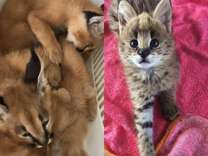 Savannah And Caracal kittens (Serval)