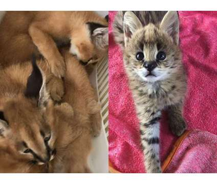 Savannah And Caracal kittens (Serval) is a Male Young in Albuquerque NM