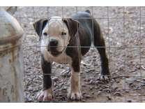 Olde English Bulldogge Pups