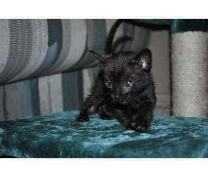 Unique Black Bengal Kitten is a Black Male Bengal Kitten For Sale in Ashland OH
