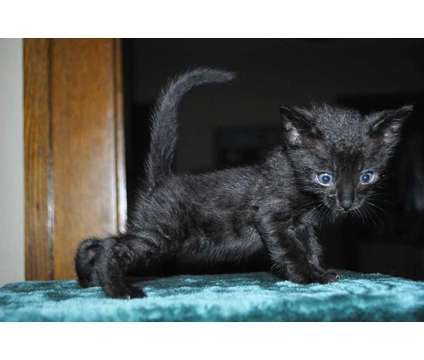 Unique Black Bengal Kitten is a Black Female Bengal Kitten For Sale in Ashland OH