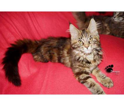 Maine Coon Kittens is a Maine Coon Kitten For Sale in Toccoa GA