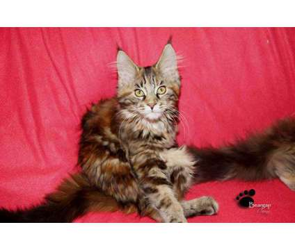 Maine Coon Kittens is a Female Maine Coon Kitten For Sale in Toccoa GA