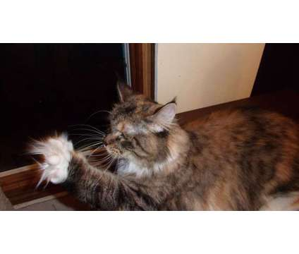 Coco - CFA Champion-5 years old is a Maine Coon in Brooklyn NY