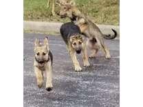 German Shepherd Pups and Training