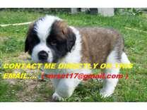 kdfkd Saint Bernard Puppies For Sale