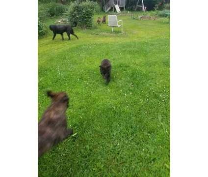 German Shepherd Pups and Training is a German Shepherd For Sale in Hillside IL