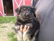 akc german shepherd puppies