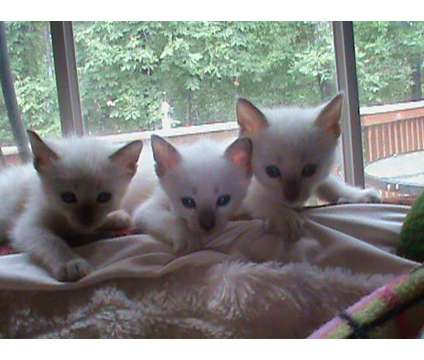 Siamese kittens is a Female Siamese Kitten For Sale in Raleigh NC