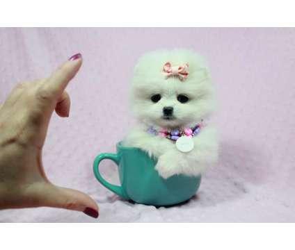 Gorgeous, Show Quality Teacup Pomeranian Puppies For Sale In Las Vegas is a Female Pomeranian Puppy For Sale in Las Vegas NV