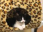 Adopt Puss n Boots a Black & White or Tuxedo American Shorthair (medium coat)