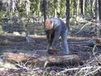 LODGE POLE FIREWOOD(For house wood stove) -