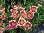Red Ribbons Daylily Plants