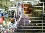Two Roosters For FREE (Muskegon)
