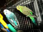 Adopt Budgies-Assorted a Parakeet (Other)